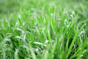 Close Up Of Fresh Thick Grass With Water Drops Stock Photography - Image: 19190712
