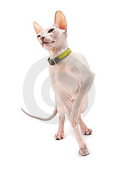 Don Sphynx Stock Image - Image: 19192521