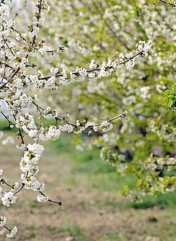 Cherry Blossom Stock Image - Image: 19193681