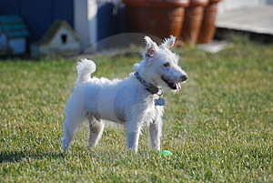 Jack Russell Playing Outside Stock Image - Image: 1928101