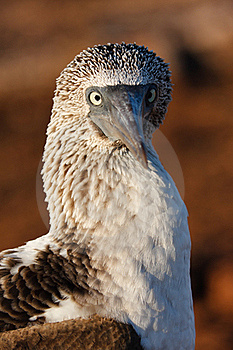 Blue-Footed Booby Stock Photos - Image: 19202443