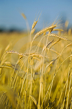 Ears Of Wheat On The Field In The Foreground Stock Image - Image: 19206921