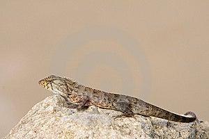 Young Iguana Royalty Free Stock Image - Image: 19207866