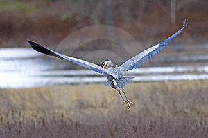 Heron Flies With Fish In Beak. Stock Photography - Image: 19212782