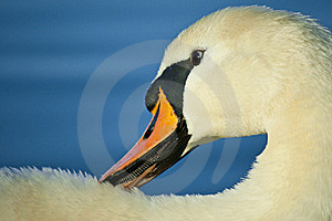 Swan Royalty Free Stock Image - Image: 19213426