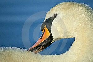 Swan Royalty Free Stock Image - Image: 19213426