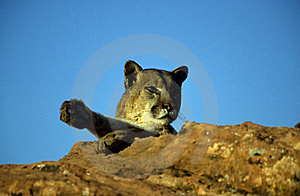 Adult Mountain Lion Royalty Free Stock Photo - Image: 19215845