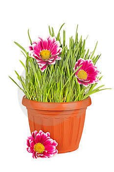 Green Grass In A Pot Isolated Stock Photo - Image: 19221770