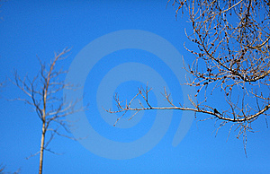 Bare Pine Tree With A Bird Royalty Free Stock Images - Image: 19224319