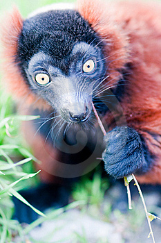 Young Lemur Eats The Grass. Stock Photo - Image: 19224720