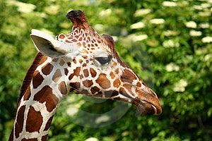 Giraffe Head Stock Image - Image: 19225341