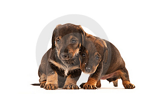 Dachshund Puppies Embracing - Stock Photo - Image: 19229570