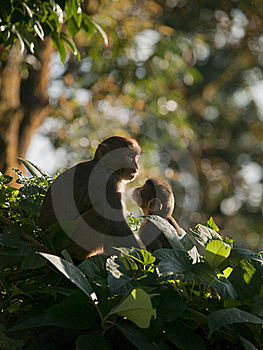 Une Famille De Macaque Affichant L'affection Pour L'eachother Image stock - Image: 19229921