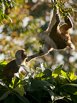 A Macaque Family Showing Affection For Eachother Stock Photo - Image: 19229930
