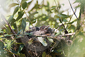 Couples Of New Born Blackbirds Royalty Free Stock Image - Image: 19230136