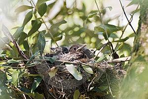Couples Of New Born Blackbirds Royalty Free Stock Image - Image: 19230136