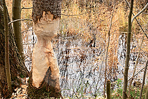 Thinged, Bited Tree By The Beaver. Stock Images - Image: 19238104