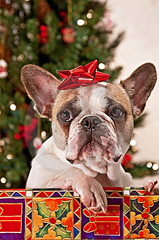 Christmas French Bulldog Stock Photography - Image: 19239102