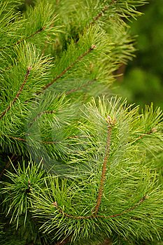 Young Green Pine Branches Stock Photo - Image: 19240700