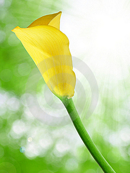 Tulip Stock Photo - Image: 19241180