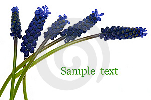 Muscari Flowers Stock Images - Image: 19241204