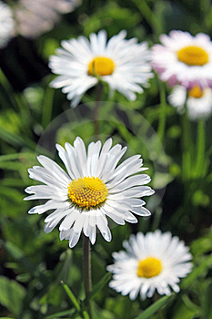 Daisies Royalty Free Stock Photos - Image: 19243248