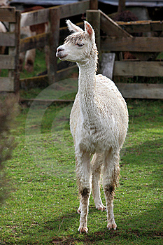 Young Lama In Farm Royalty Free Stock Photography - Image: 19244557