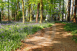 Spring Bluebells In An English Beech Wood Royalty Free Stock Images - Image: 19245179