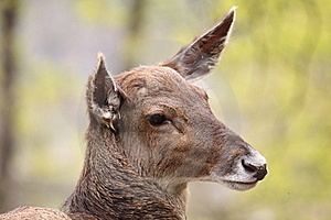White-lipped Deer Royalty Free Stock Images - Image: 19247869