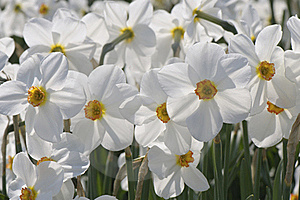 Free Stock Images - White daffodils