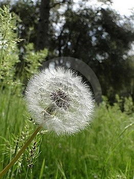 Flower Puff Stock Photos - Image: 19249703