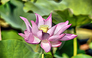 Lotus Flower Free Stock Photography