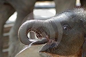 Baby Elephant Royalty Free Stock Photography - Image: 19251977