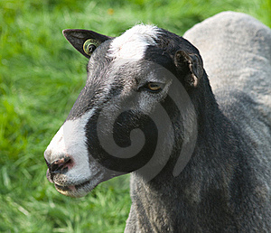 Head Of A Sheep Stock Photography - Image: 19252212