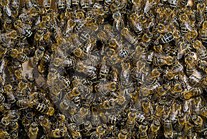 Bees In Hive 7 Royalty Free Stock Images - Image: 19253539
