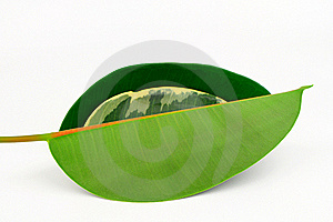 Three Rubber Tree Leaves. Royalty Free Stock Photography - Image: 19255127