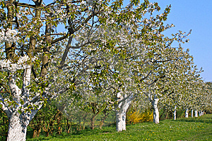 Spring Trees In Blossom, Bavaria, Germany Royalty Free Stock Photo - Image: 19259965