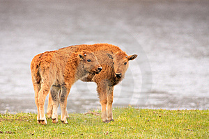 Bison Calves Royalty Free Stock Image - Image: 19260616
