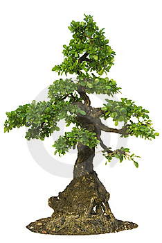 Isolated Fig Tree Bonsai Royalty Free Stock Image - Image: 19263716