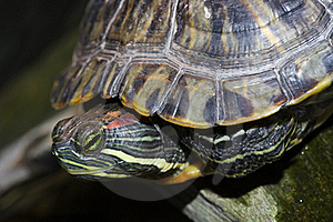 Painted Turtle Royalty Free Stock Images - Image: 19264329