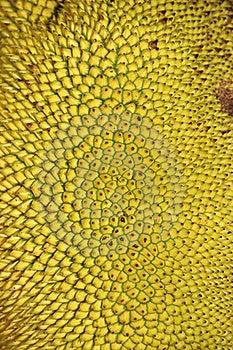 Ripe Jackfruits Stock Image - Image: 19266531