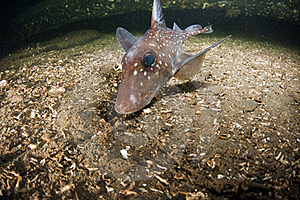 Rat Fish Royalty Free Stock Photo - Image: 19279915