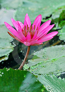 Blossom Lotus Royalty Free Stock Photo - Image: 19280335