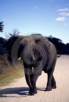 Adult Elephant On Road Stock Photography - Image: 19280352