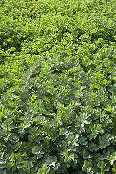 Celery Garden Royalty Free Stock Photos - Image: 19280878