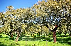Oak Trees . Stock Image - Image: 19284371