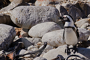 African Penguin Stock Image - Image: 19288591
