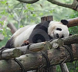 Giant Panda Royalty Free Stock Photography - Image: 19295687