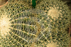Cactus Detail Royalty Free Stock Photo - Image: 1931965