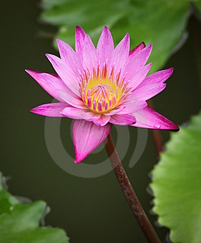 Pink Water Lily Stock Photos - Image: 19301293